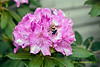 A Bee hard at work in my flower bed. Shot with my old Konica Minolta 7-D and old Sigma 28-70 Non-Macro lens. It's Spring again - Nature's wonder in my backyard Spring 2012